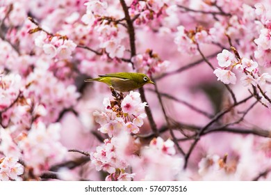 The Japanese White eye.The background is winter cherry blossoms. Located in Shinjuku, Tokyo Prefecture Japan.