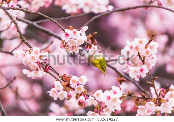 The Japanese White eye.The background is winter cherry blossoms. Located in Tokyo Prefecture Japan.
