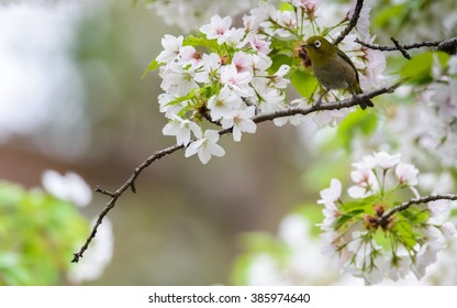 Japanese white eye (Zosterops japonicus) or oriental white eye bird on Sakura tree in cherry blossom season in japan.