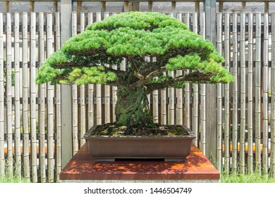 A Japanese White Pine Bonsai Tree that was planted in the year 1645 that survived the atomic bombing of Hiroshima on August 6, 1945.