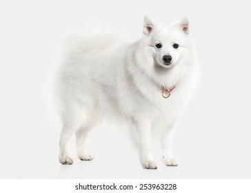 Japanese white spitz on white background