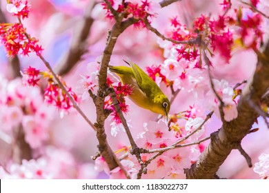 Japanese White-eye.The back is cherry blossoms(Japanese name is Kanzakura). Located in Tokyo Prefecture Japan.