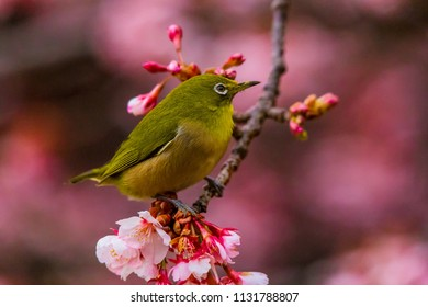 Japanese White-eye.The background is cherry blossoms