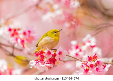 Japanese White-eye.The background is cherry blossoms. Located in Tokyo Prefecture Japan.
