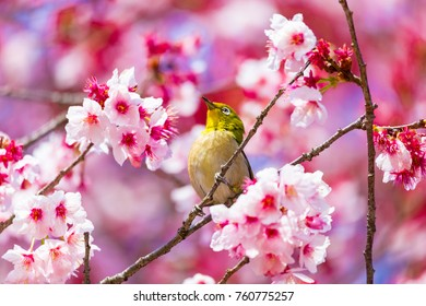 The Japanese White-eye.The background is cherry blossoms. Located in Tokyo Japan.