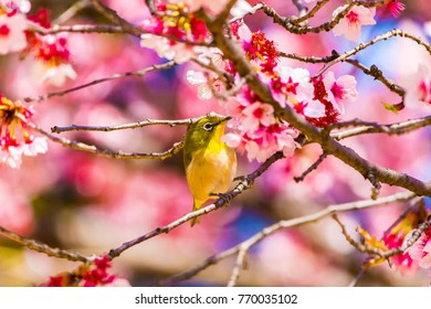 The Japanese White-eye.The background is cherry blossoms. Located in Tokyo Prefecture Japan.