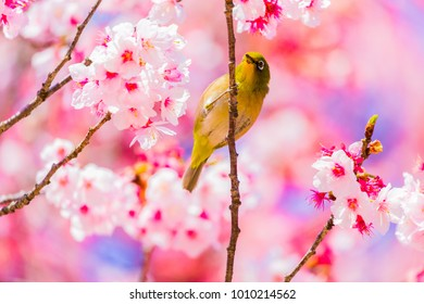 The Japanese White-eye.The background is cherry blossoms(Japanese name Kanzakura). Located in Tokyo Prefecture Japan.