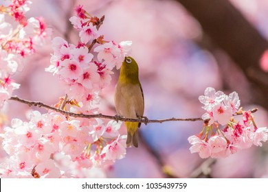 The Japanese White-eye.The background is cherry blossoms(Japanese name is Kanzakura). Located in Tokyo Prefecture Japan.
