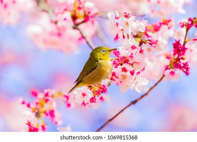 Japanese White-eye.The background is cherry blossoms(Japanese name is Kanzakura). Located in Tokyo Prefecture Japan.