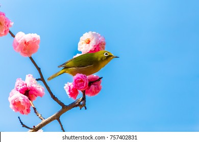 The Japanese White-eye.The background is red plum blossoms. Located in Tokyo Prefecture Japan.