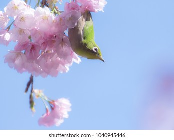 Japanese White-eye bird in the cherry blossoms.