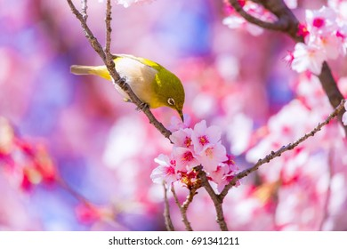 The Japanese White-eye and cherry blossoms. Located in Tokyo Prefecture Japan.