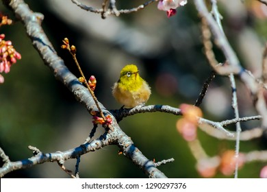 Japanese White-eye With Cherry blossoms at Tokyo, Japan