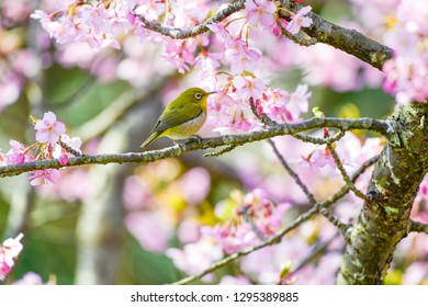 The Japanese white-eye. Close-up of cherry blossoms in early spring and blue sky