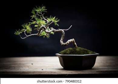 japanese whitepine bonsai