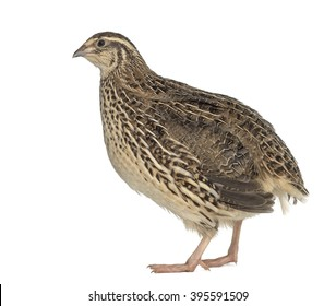Japanese Wild Quail isolated on white