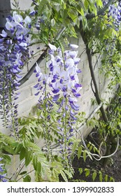 Japanese Wisteria (wisteria floribunda) in garden