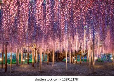 Japanese wisteria flower in full bloom at the Ashikaga flower park, Tochigi Prefecture, Japan