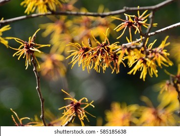 Japanese witch hazel blossoms or Hamamelis japonica (Mansaku in japanese) in early spring