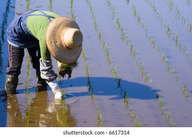 A Japanese woman planting rice by hand
