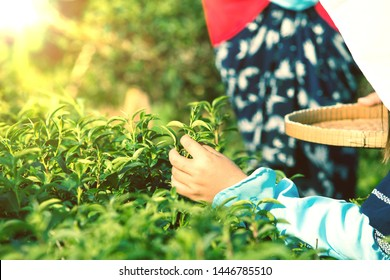 Japanese woman worker picking green tea leaves in green tea field in the morning with traditional blue costume in farm