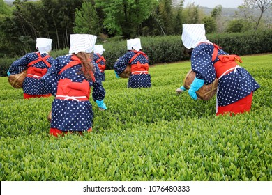 Japanese women harvesting tea leaves on farmland of tea plantation