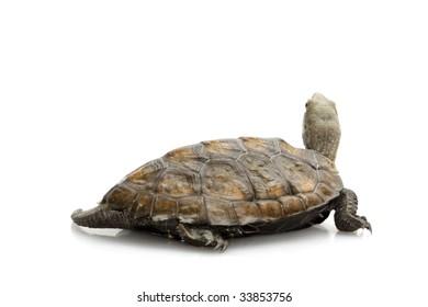 Japanese wood turtle (Mauremys japonica) isolated on white background.