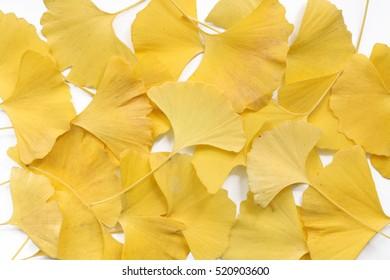 Japanese yellow ginkgo background