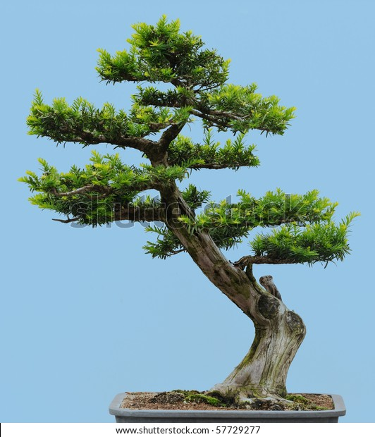 Japanese Yew Bonsai Taxus Cuspidata Stock Photo Edit Now 57729277