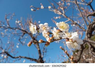Japaneses plum blossom