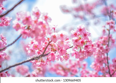Japan's amazing landscape for wallpaper. Pastel pink / white cherry blossoms (sakura) blooming in spring in bright sunny day with blue sky