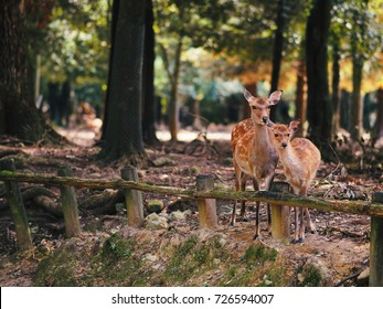 Japan's famous Nara deer. Sika Deer Cervus Nippon Nara, Japan.