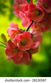 Japenese flowering crabapple flowers