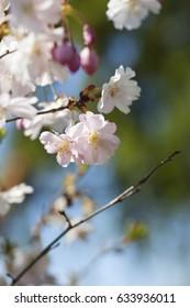 Japon chery tree