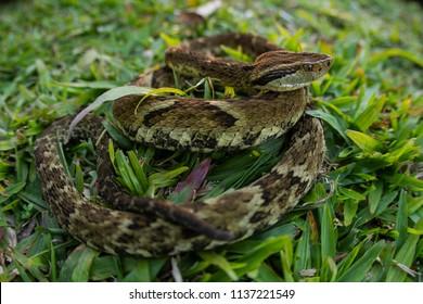 Jararaca Snake (Bothrops Jararaca) in the grass. Poisonous brazilian snake.