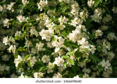 Jasmine blooms in the garden in sunny day. fragrant white jasmine blooms on bush in summer.