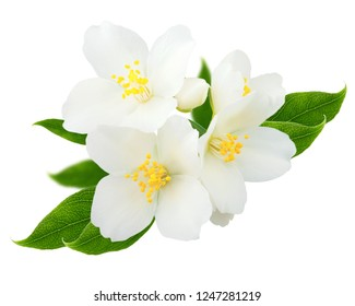 Jasmine branch isolated on white background