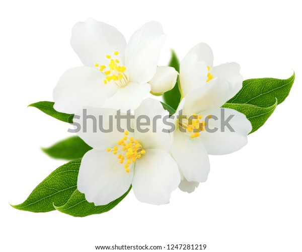 Jasmine branch isolated on white background