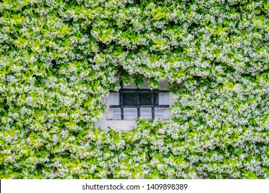 Jasmine, a cluster of plants on the house
