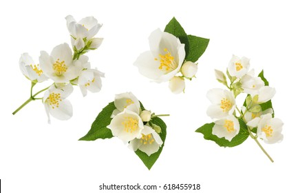 Jasmine flower isolated on white. without shadow