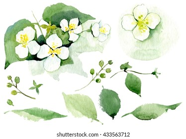 Jasmine flower with leaves. Set. Watercolor isolated flowers.
