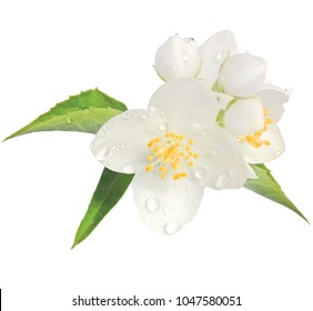 Jasmine flower mock orange blossom macro closeup isolated, Philadelphus coronarius L. lewisii native wildflowers shrub