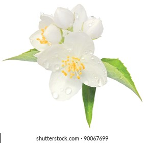 Jasmine flower mock orange blossom macro closeup, isolated jessamine Philadelphus coronarius L. lewisii native wildflowers shrub after rain, jasmin with dew drops