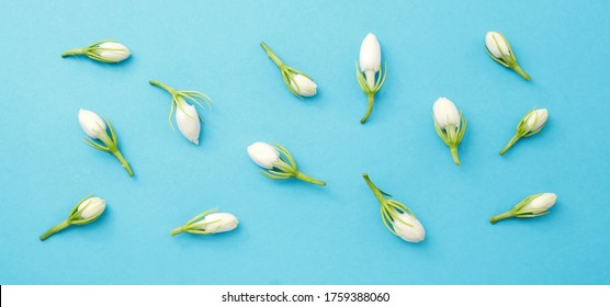 Jasmine flower on blue background , top view , flat lay.