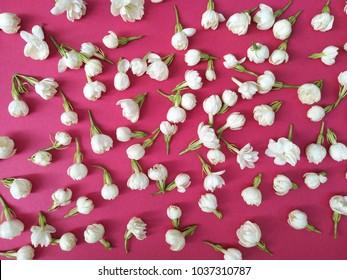jasmine flower on red background