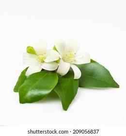 Jasmine Flower or Orange Jasmine Isolated on White