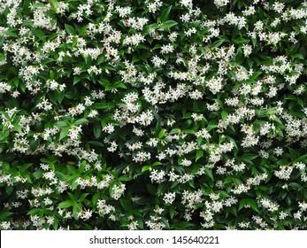 Jasmine flowers - beautiful jasmin flowers in bloom