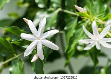 Jasmine flowers close up