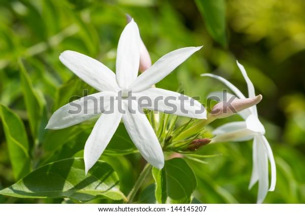 Jasmine flowers extreme close up