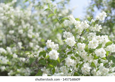 Сlose up of jasmine flowers in a garden